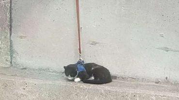 cat in harness