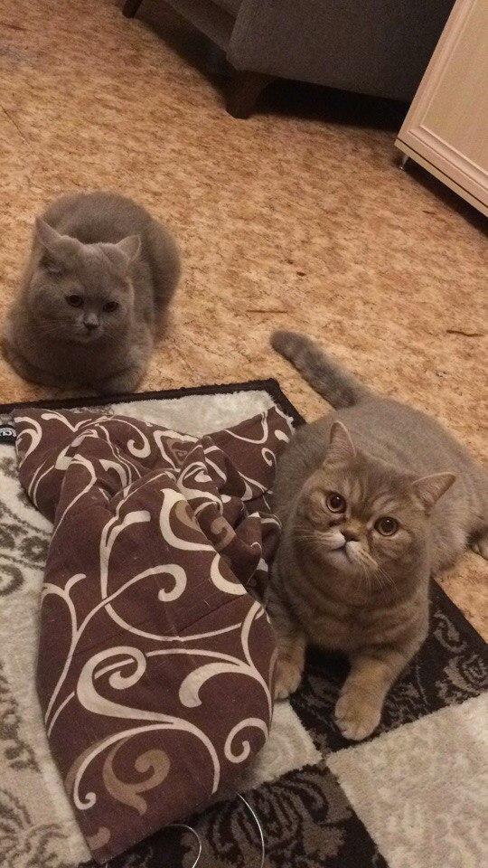двое котов