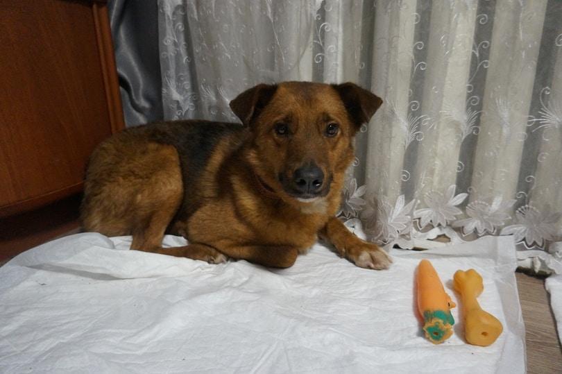 пес в доме