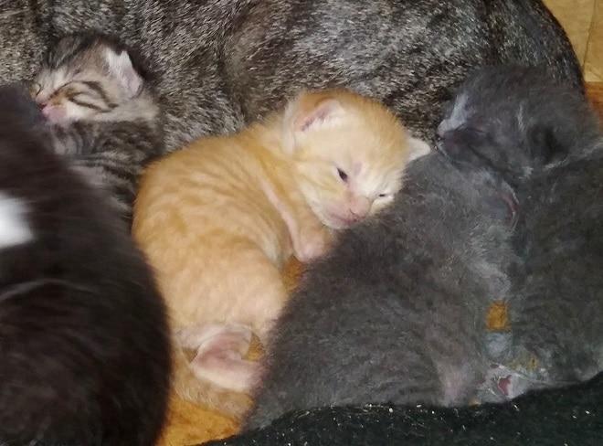 Рыжий котенок среди серых