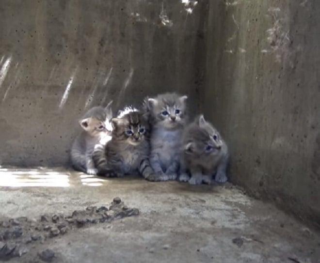 Котята в канализации