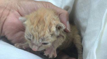 little ginger kitten