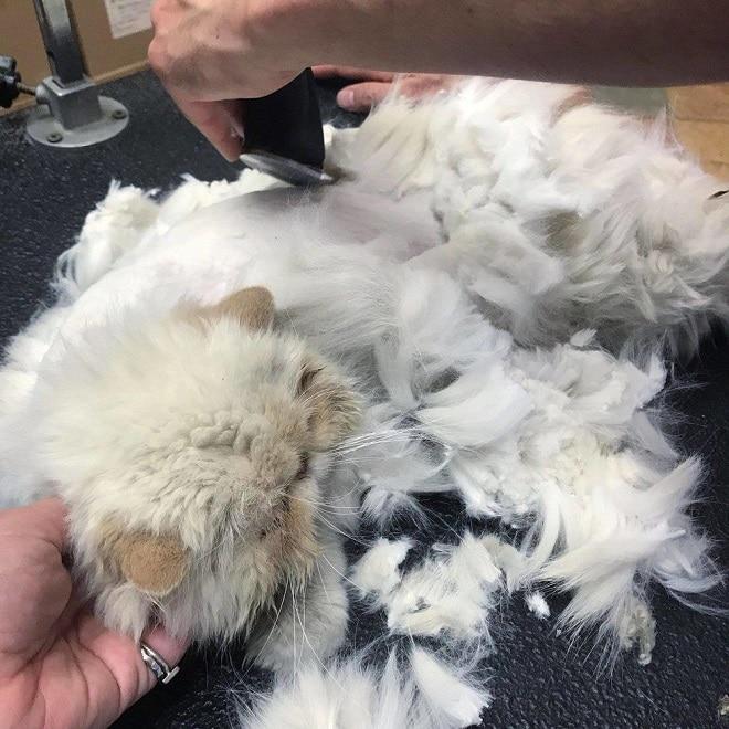 Кошку бреют
