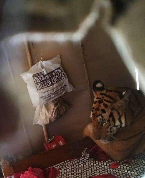 тигр на кровати