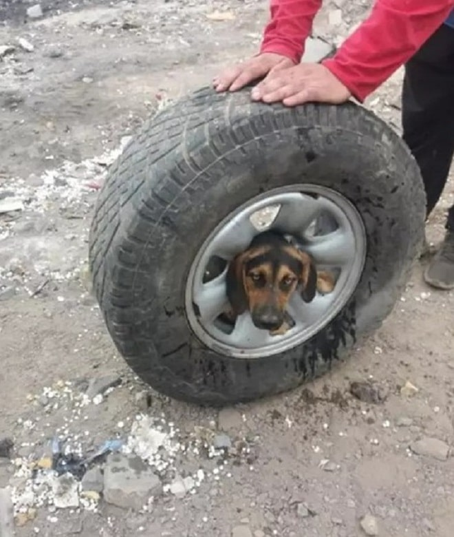 Голова собаки в диске