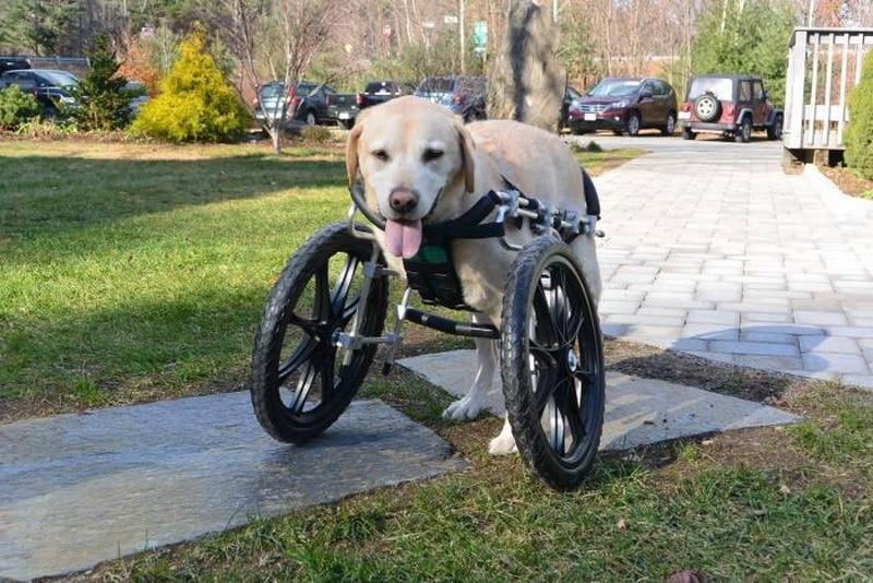 собака на инвалидной коляске