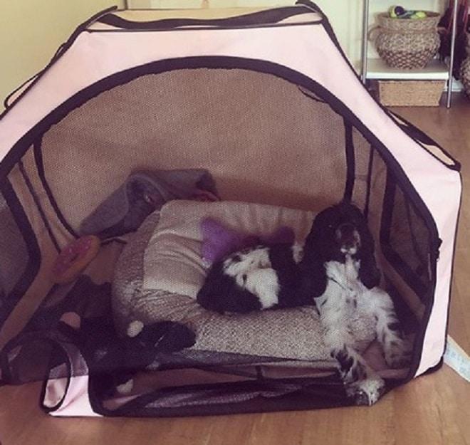 Собака в тенте