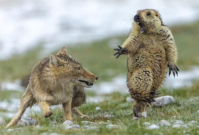 Сурок и лисица