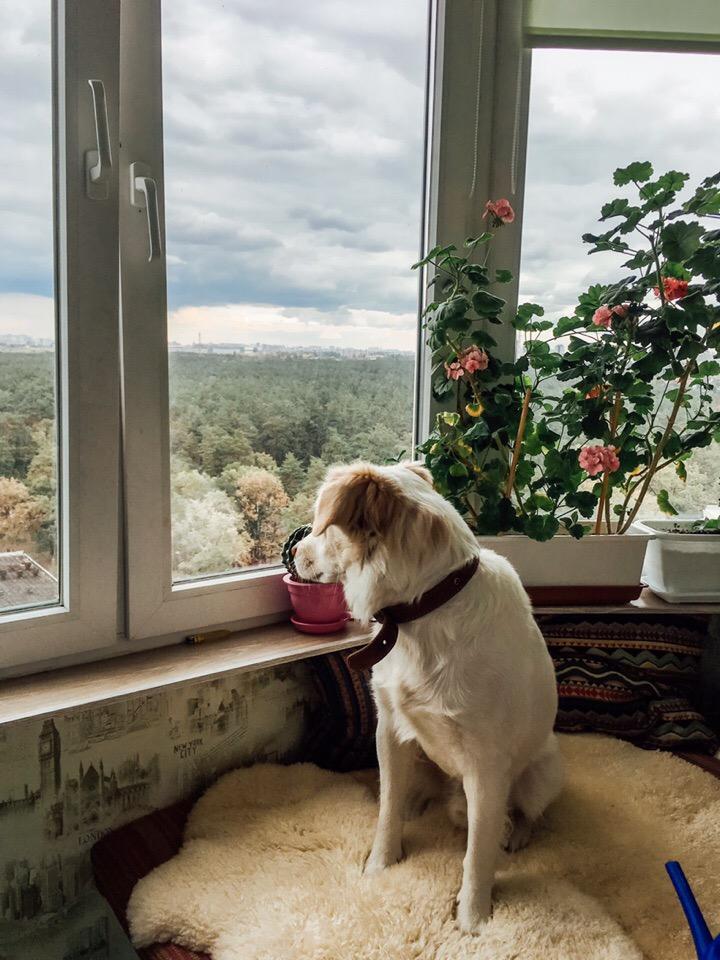 пес у окна