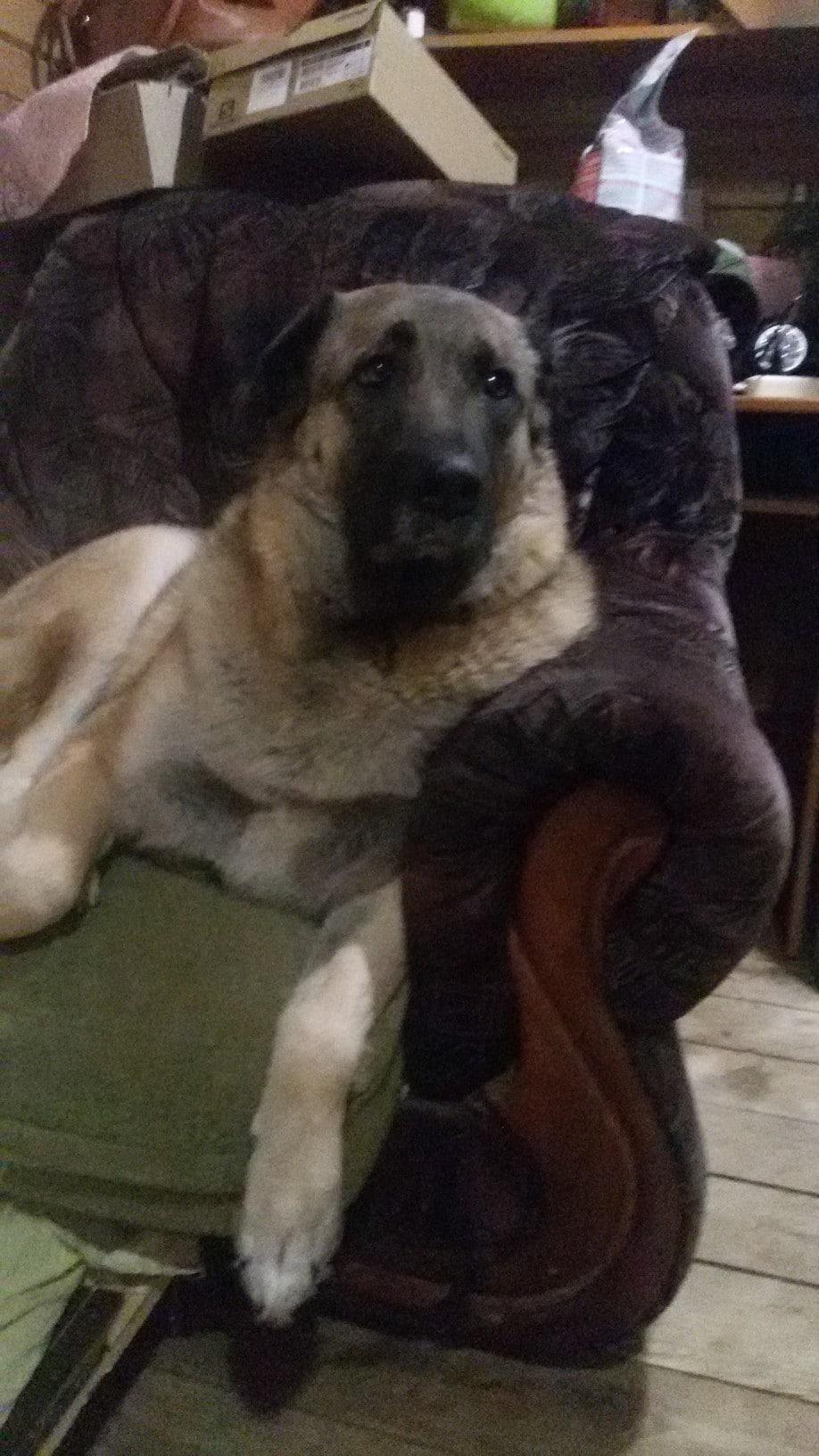собака на кресле
