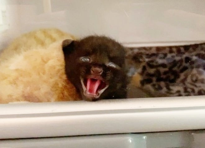 Котенок открыл рот
