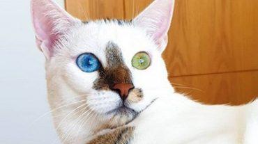 white cat Bowie