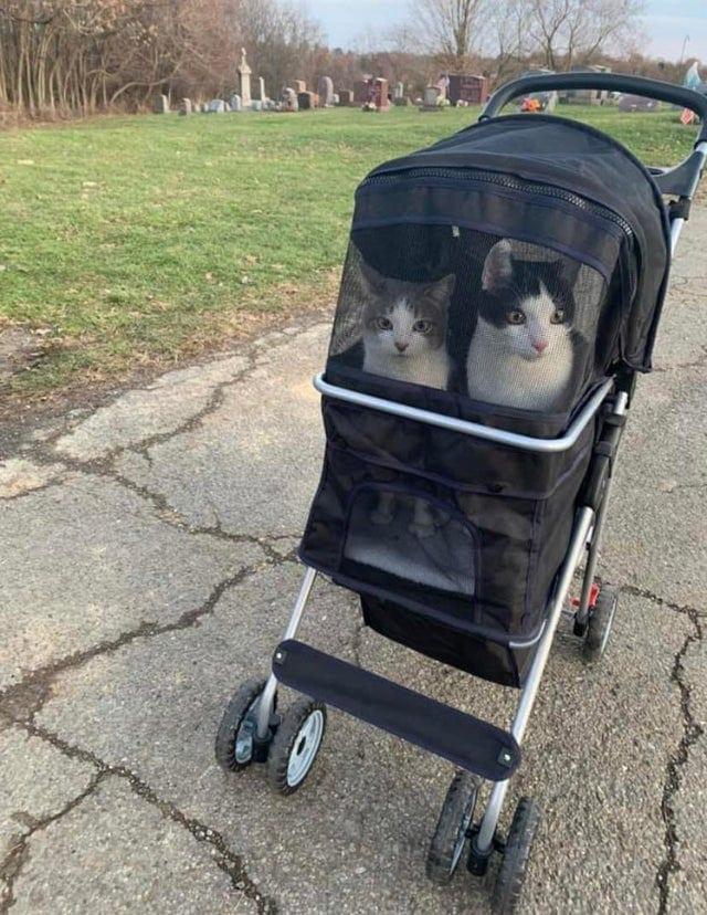 коты в коляске