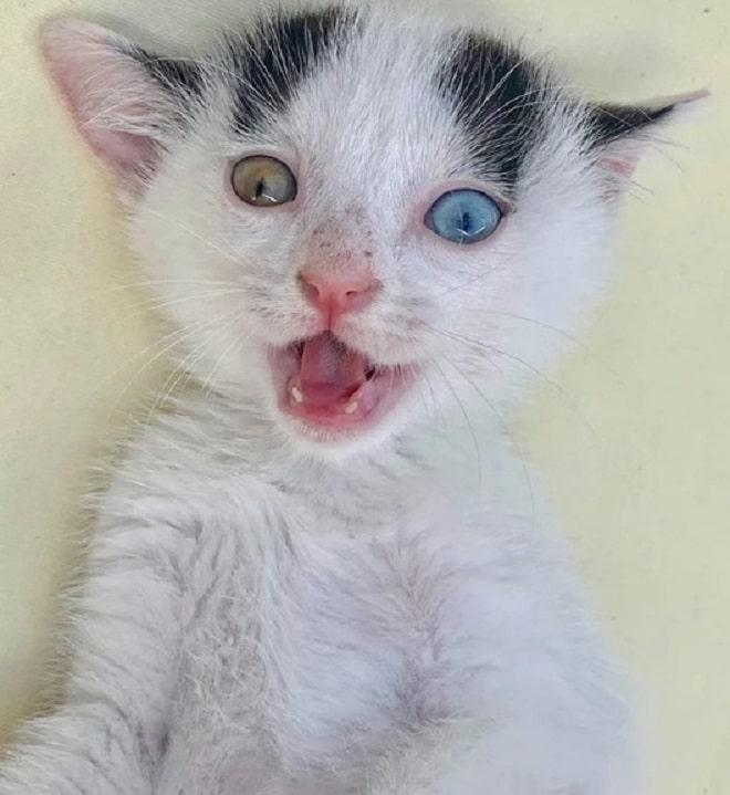 Котенок с разноцветными глазами