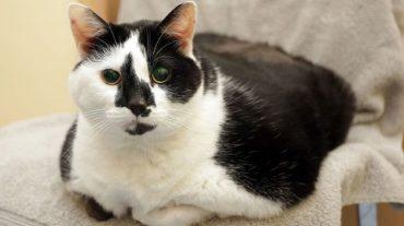 Overfed cat