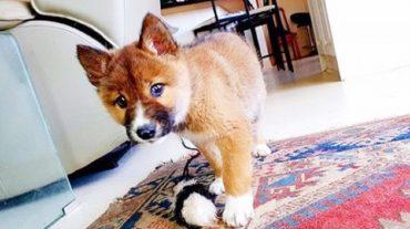 lovely dingo