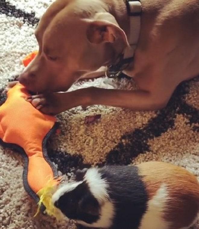 Пес и морская свинка