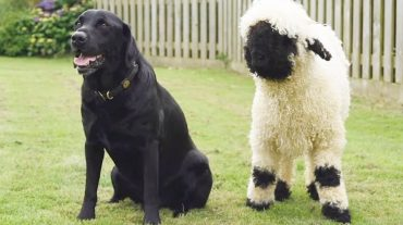 sheep and dog