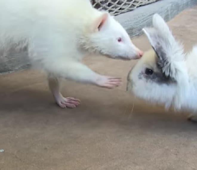 Енот и кролик
