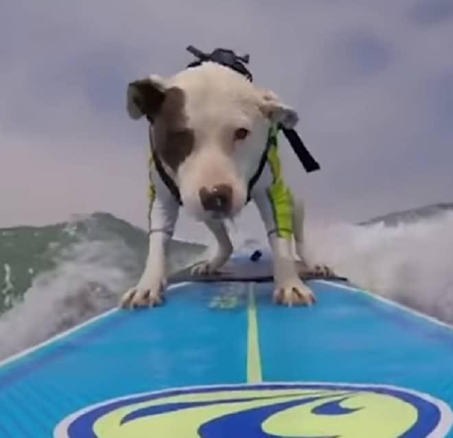 Собака серфит