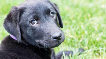 black pup