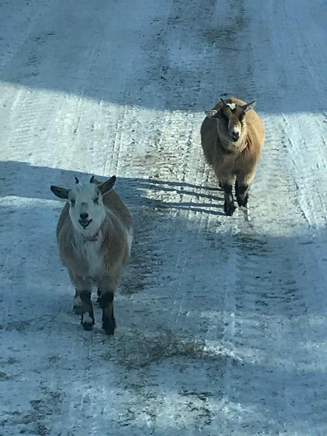 козы на прогулке
