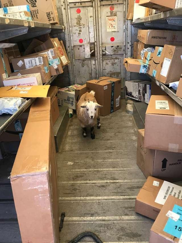 коза в гараже