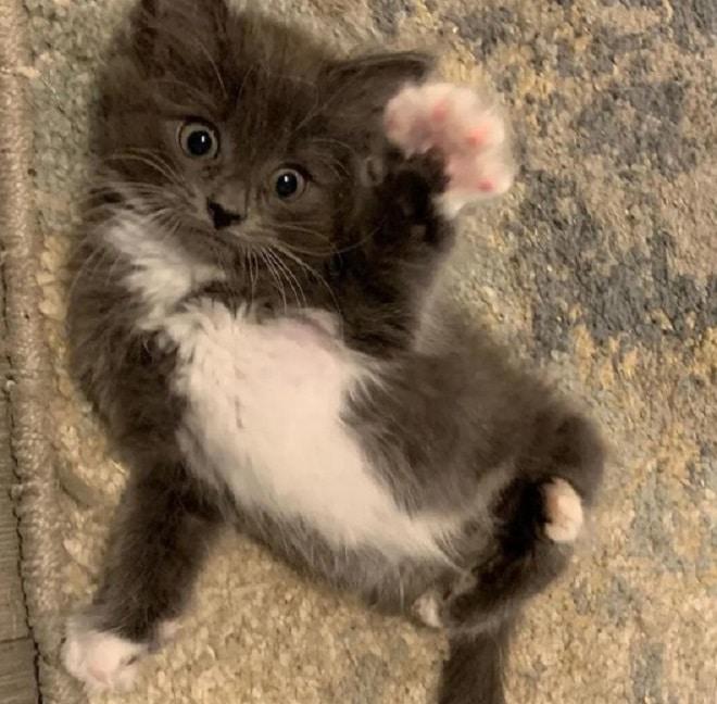 Котенок с необычными лапками