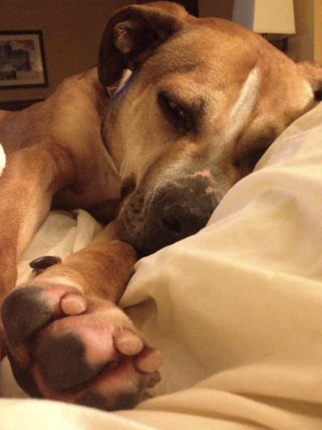 пёс отдыхает