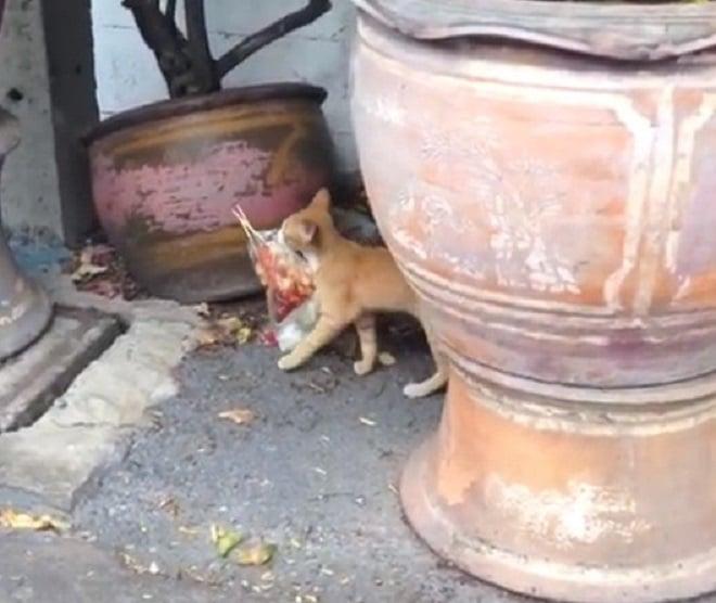 Кот несет мясо