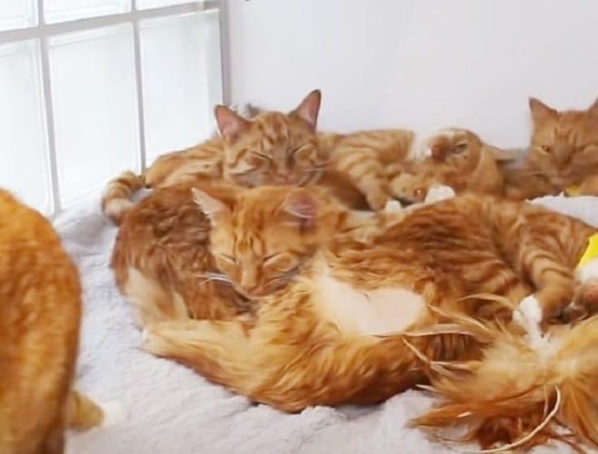 Рыжие коты