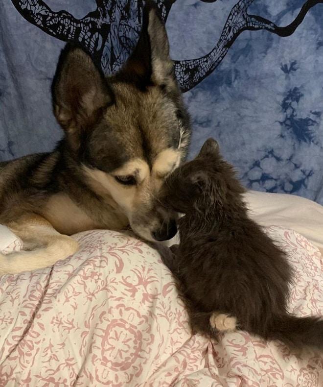 Котенок моет собаку