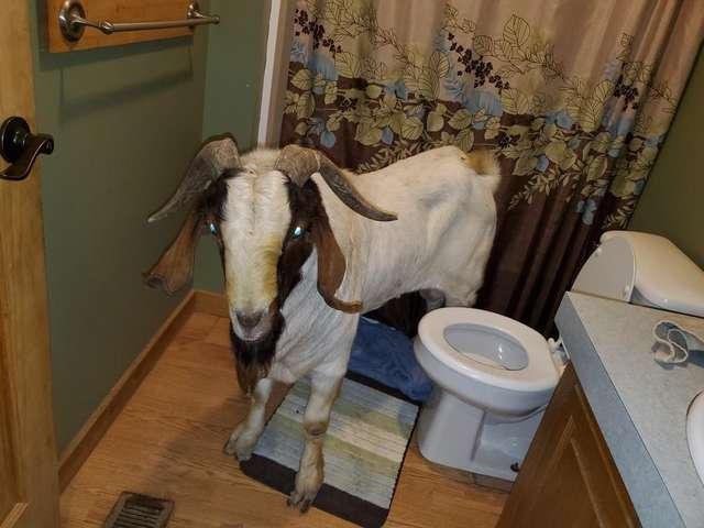 коза в ванной