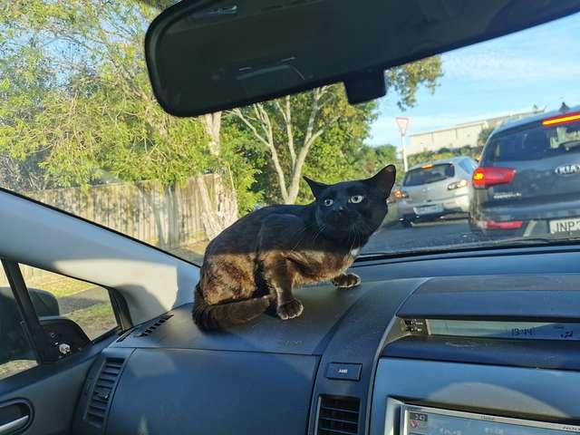 кошка в машине