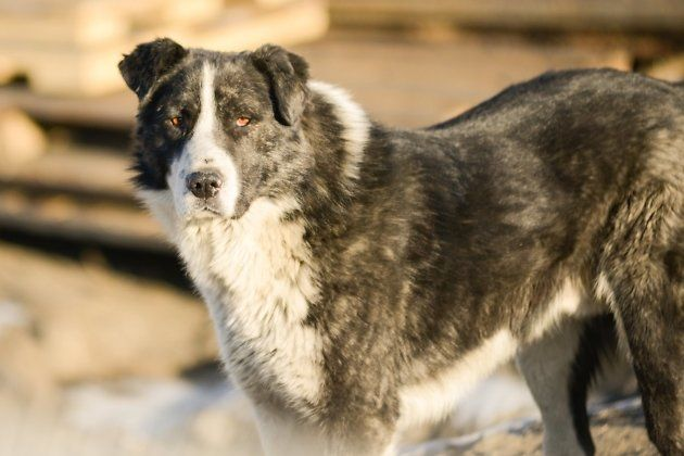 Село в Забайкалье, где собака покусала ребёнка, не просило об отлове животных