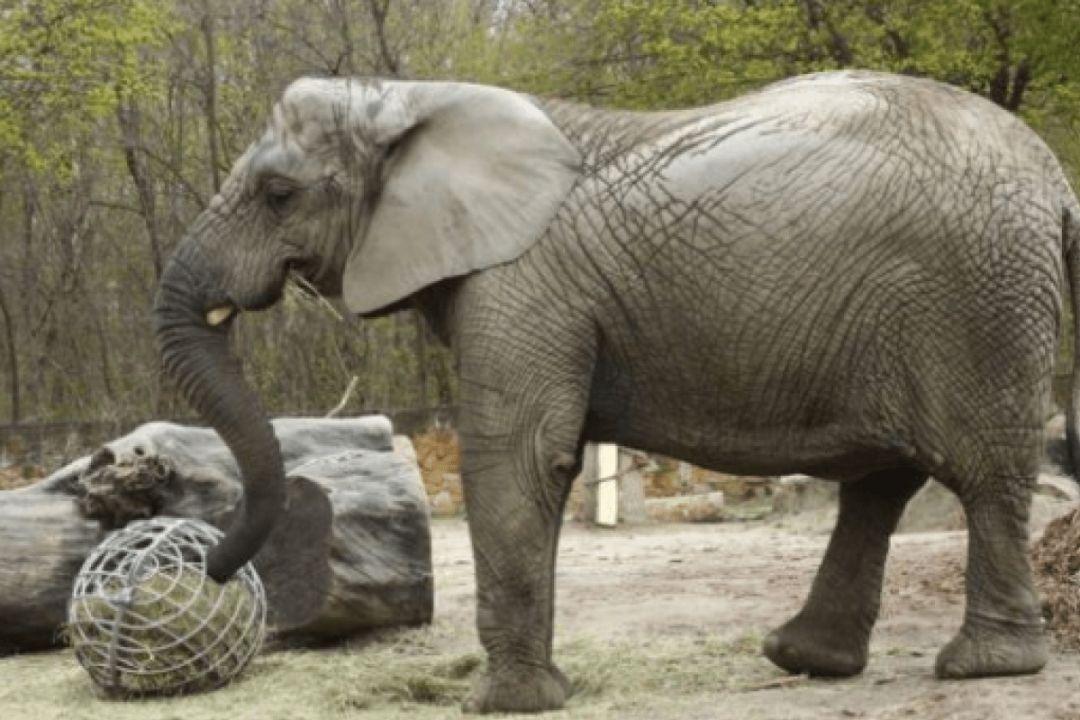 Слон из конопли гималайская конопля