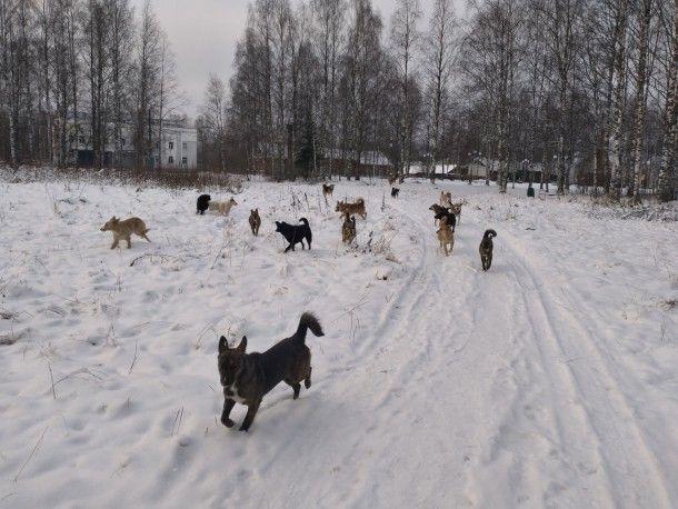 В Сосногорске отловили свыше ста бродячих собак
